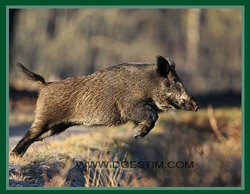 Bow hunting and big game in france bow hunting wild boar in france
